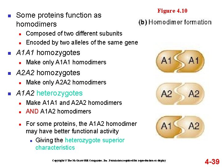 n Some proteins function as homodimers n n n Make only A 1 A