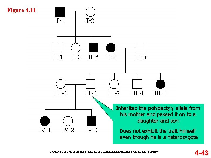 Figure 4. 11 Inherited the polydactyly allele from his mother and passed it on