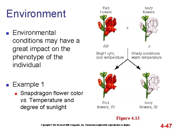 Environment n n Environmental conditions may have a great impact on the phenotype of