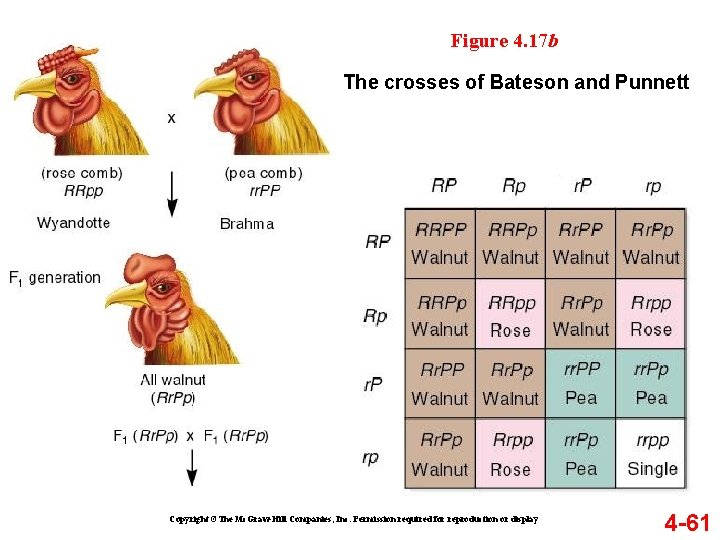 Figure 4. 17 b The crosses of Bateson and Punnett Copyright ©The Mc. Graw-Hill