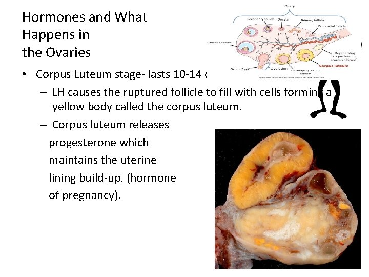 Hormones and What Happens in the Ovaries • Corpus Luteum stage- lasts 10 -14