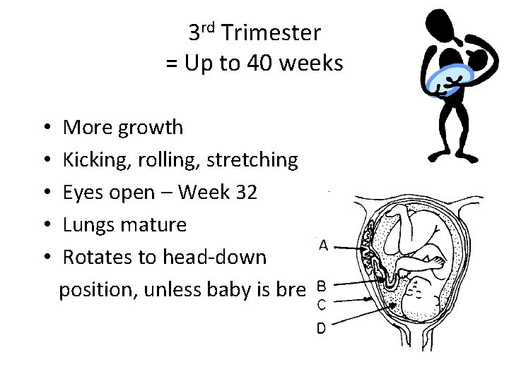 3 rd Trimester = Up to 40 weeks • • • More growth Kicking,