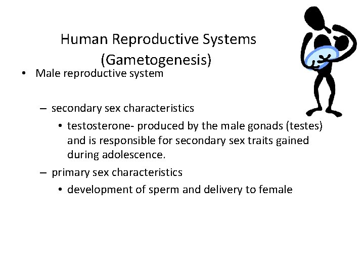 Human Reproductive Systems (Gametogenesis) • Male reproductive system – secondary sex characteristics • testosterone-