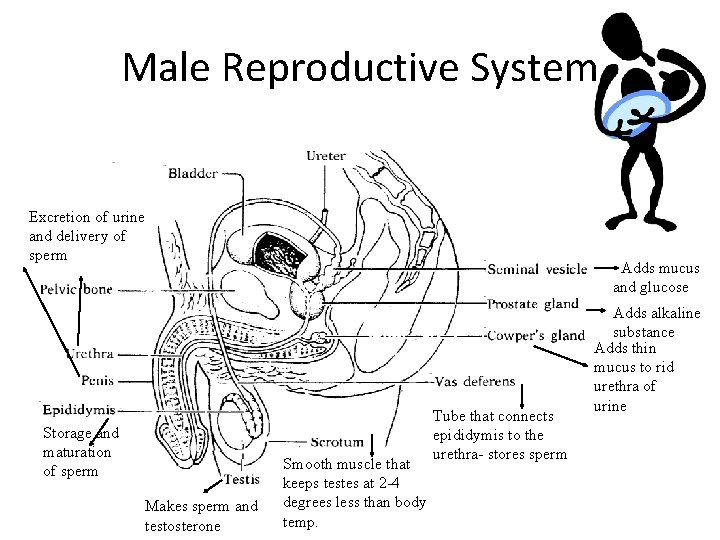 Male Reproductive System Excretion of urine and delivery of sperm Storage and maturation of