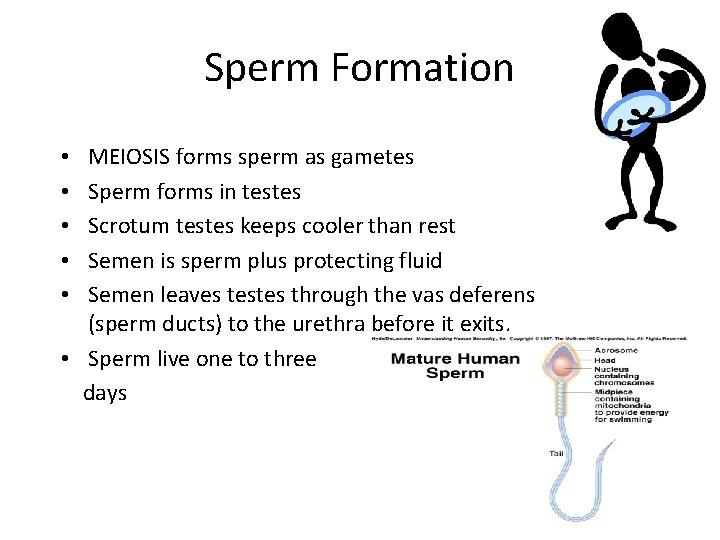 Sperm Formation MEIOSIS forms sperm as gametes Sperm forms in testes Scrotum testes keeps