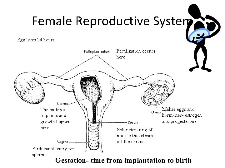 Female Reproductive System Egg lives 24 hours Fertilization occurs here The embryo implants and