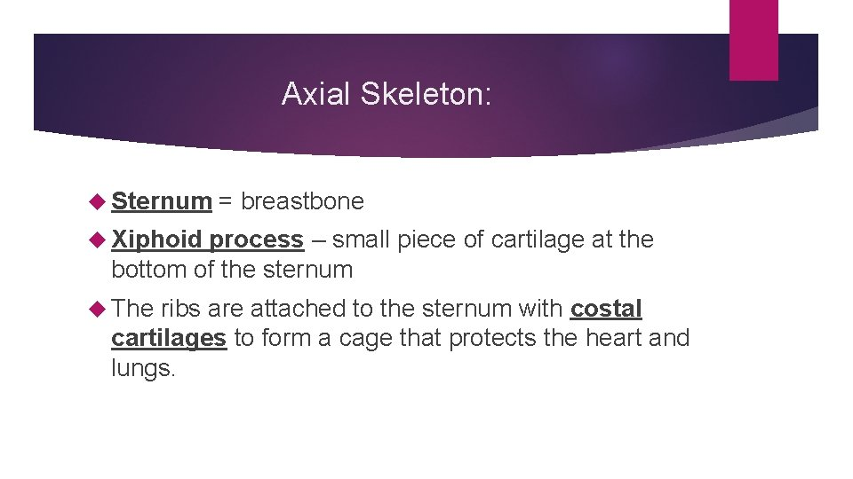 Axial Skeleton: Sternum = breastbone Xiphoid process – small piece of cartilage at the