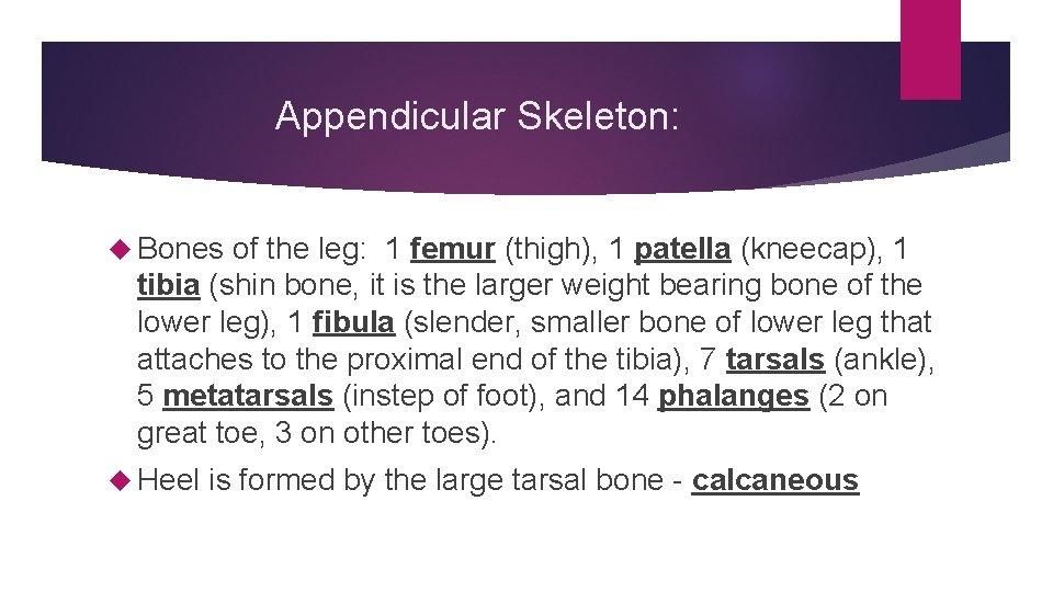 Appendicular Skeleton: Bones of the leg: 1 femur (thigh), 1 patella (kneecap), 1 tibia