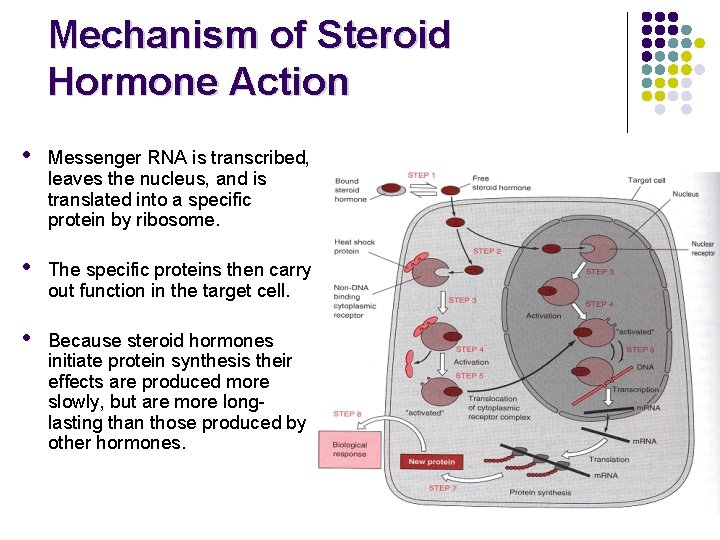what is a steroid hormones action