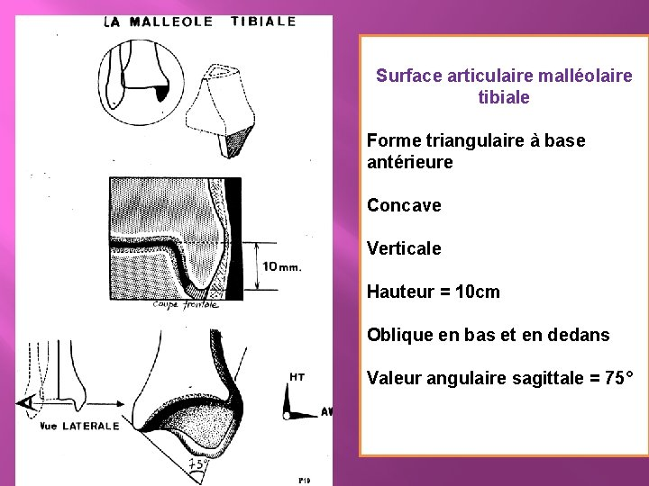 Surface articulaire malléolaire tibiale Forme triangulaire à base antérieure Concave Verticale Hauteur = 10