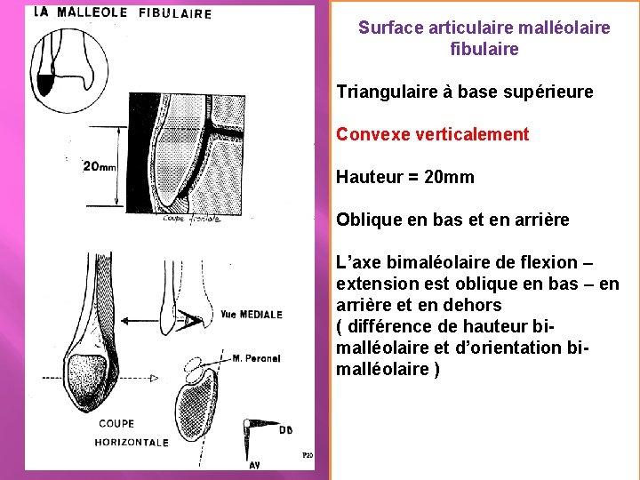 Surface articulaire malléolaire fibulaire Triangulaire à base supérieure Convexe verticalement Hauteur = 20 mm