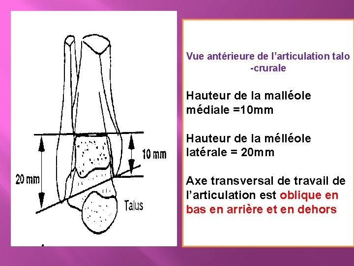 Vue antérieure de l'articulation talo -crurale Hauteur de la malléole médiale =10 mm Hauteur