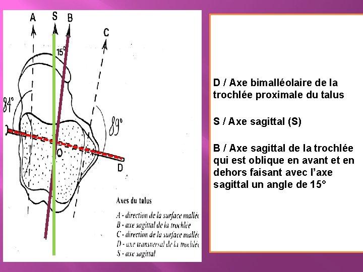 D / Axe bimalléolaire de la trochlée proximale du talus S / Axe sagittal