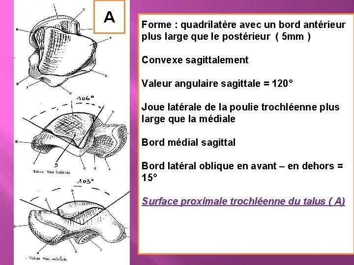 A Forme : quadrilatère avec un bord antérieur plus large que le postérieur (