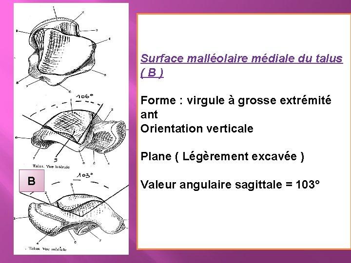 Surface malléolaire médiale du talus (B) Forme : virgule à grosse extrémité ant Orientation
