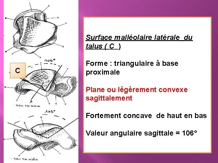 Surface malléolaire latérale du talus ( C ) C Forme : triangulaire à base