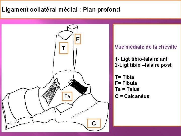 Ligament collatéral médial : Plan profond F Vue médiale de la cheville 1 -
