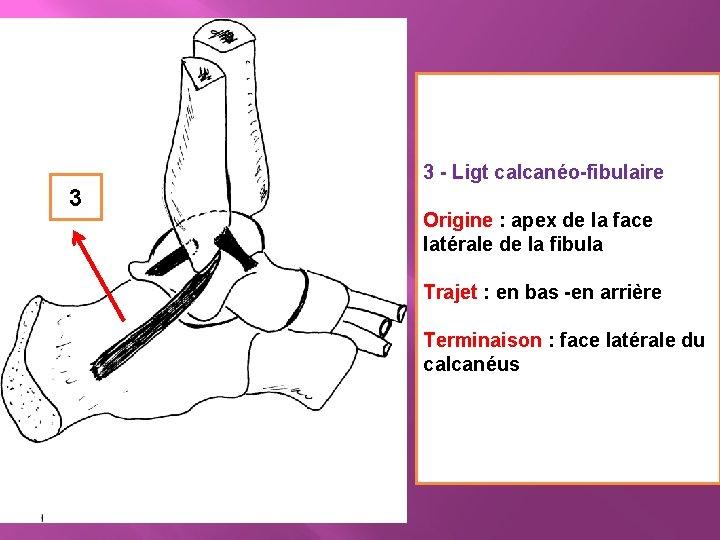 3 - Ligt calcanéo-fibulaire 3 Origine : apex de la face latérale de la