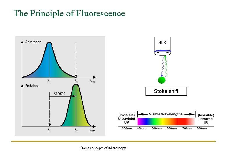The Principle of Fluorescence 40 X Stoke shift Basic concepts of microscopy