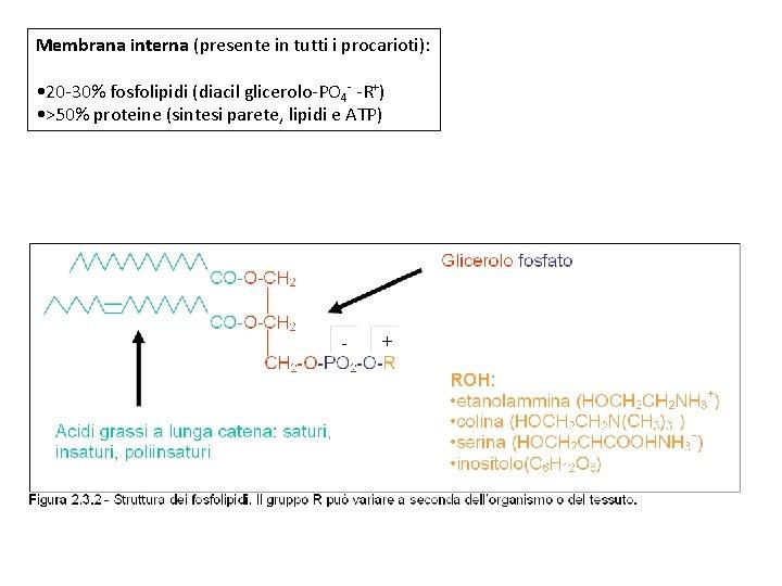 Membrana interna (presente in tutti i procarioti): • 20 -30% fosfolipidi (diacil glicerolo-PO 4