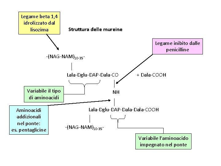 Legame beta 1, 4 idrolizzato dal lisozima Struttura delle mureine Legame inibito dalle penicilline