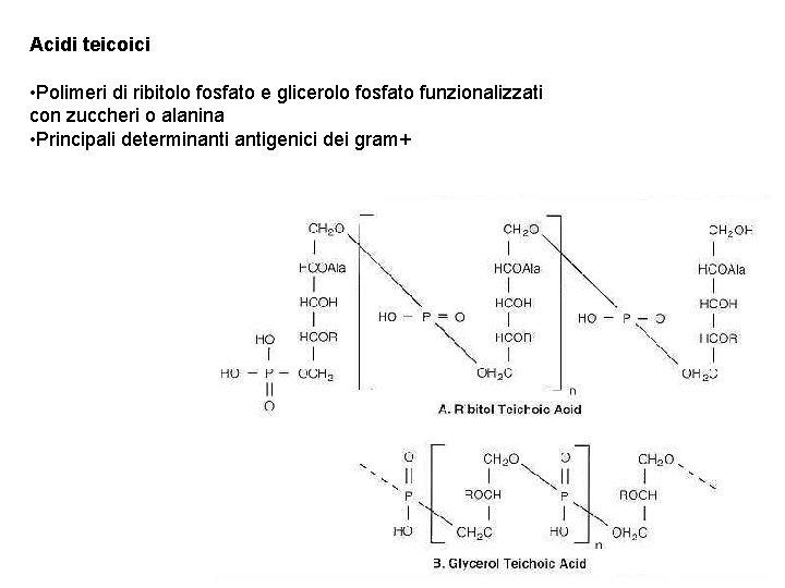 Acidi teicoici • Polimeri di ribitolo fosfato e glicerolo fosfato funzionalizzati con zuccheri o