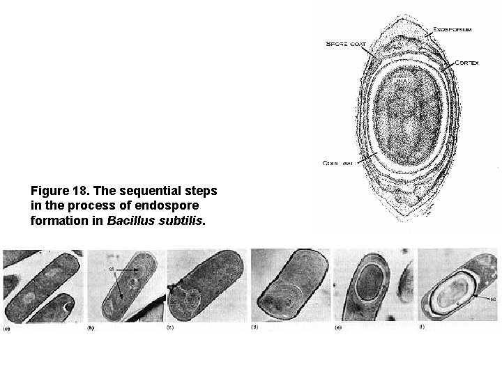 Figure 18. The sequential steps in the process of endospore formation in Bacillus subtilis.