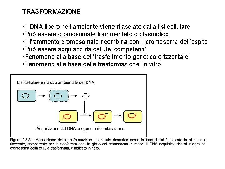 TRASFORMAZIONE • Il DNA libero nell'ambiente viene rilasciato dalla lisi cellulare • Può essere
