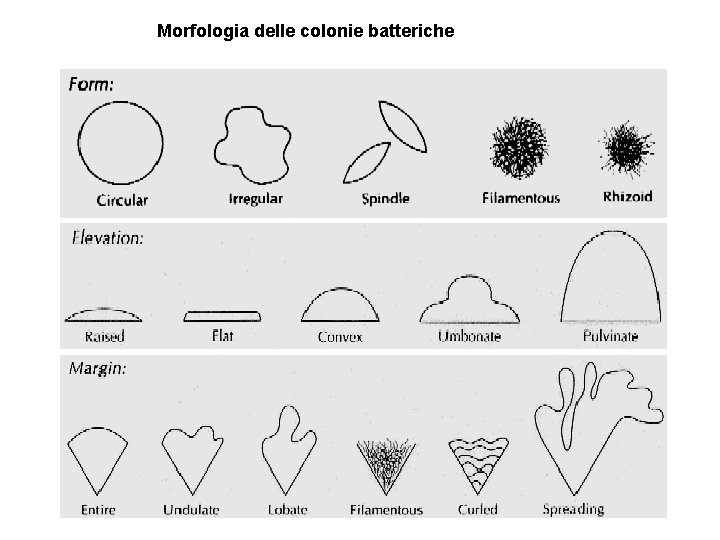 Morfologia delle colonie batteriche