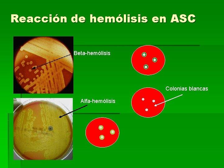 Reacción de hemólisis en ASC Beta-hemólisis Colonias blancas Alfa-hemólisis