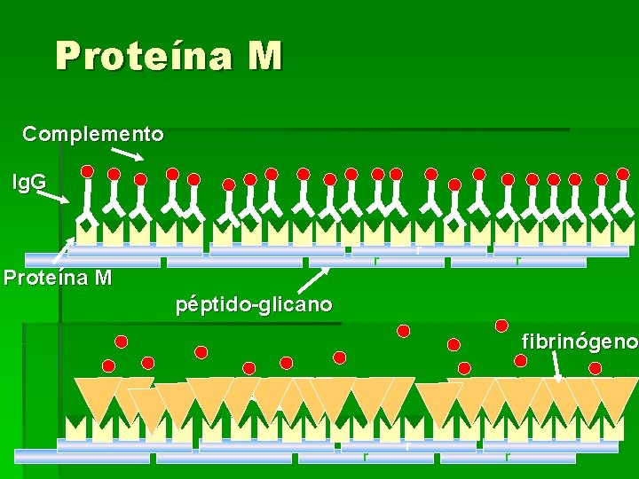 Proteína M Complemento Ig. G r r Proteína M r péptido-glicano fibrinógeno r r