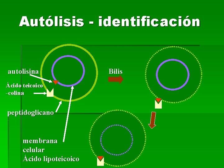 Autólisis - identificación autolisina Ácido teicoico -colina peptidoglicano membrana celular Ácido lipoteicoico Bilis