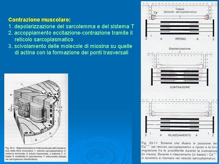Contrazione muscolare: 1. depolarizzazione del sarcolemma e del sistema T 2. accoppiamento eccitazione-contrazione tramite