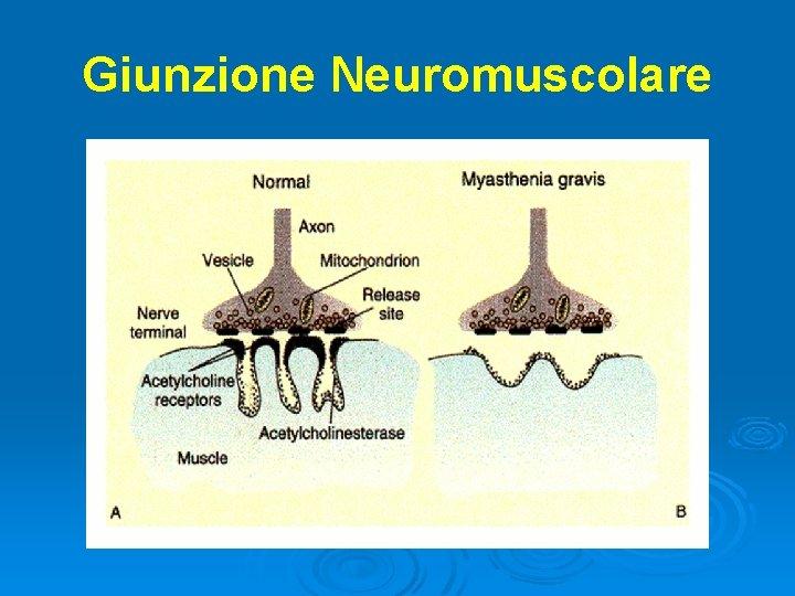 Giunzione Neuromuscolare