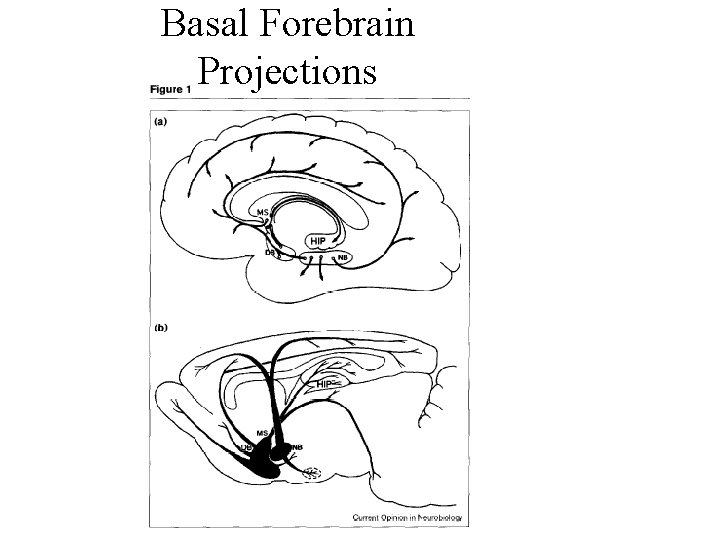 Basal Forebrain Projections