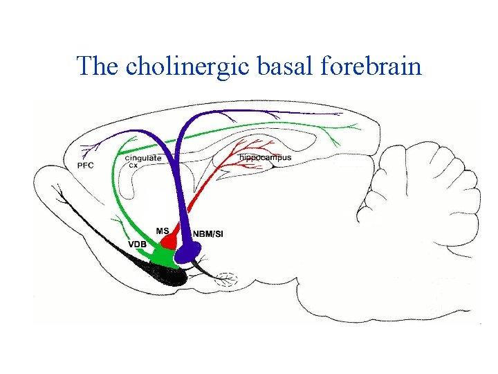 The cholinergic basal forebrain