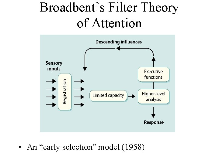 """Broadbent's Filter Theory of Attention • An """"early selection"""" model (1958)"""