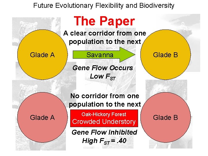 Future Evolutionary Flexibility and Biodiversity The Paper A clear corridor from one population to