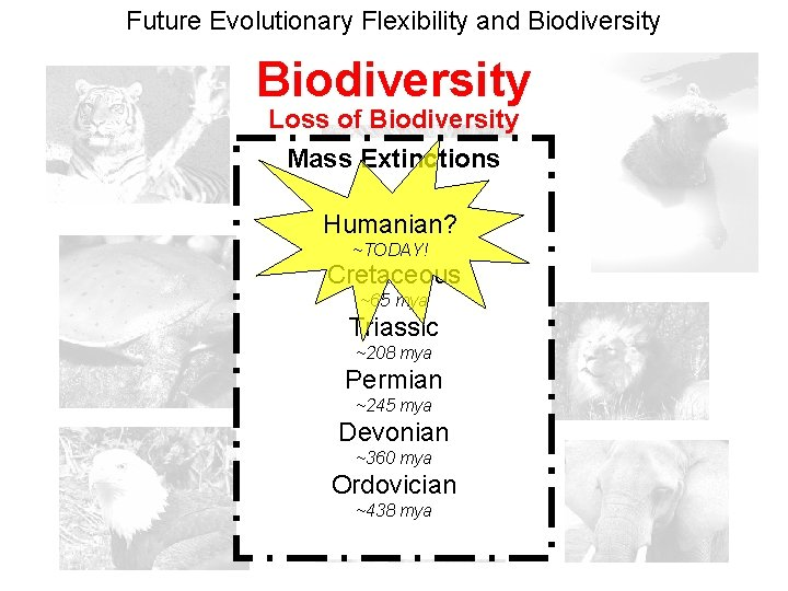 Future Evolutionary Flexibility and Biodiversity Loss of Biodiversity Mass Extinctions Humanian? ~TODAY! Cretaceous ~65