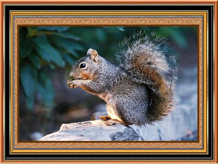 Découverte du sirop d'érable Une légende raconte qu'un petit écureuil grimpa le long d'un
