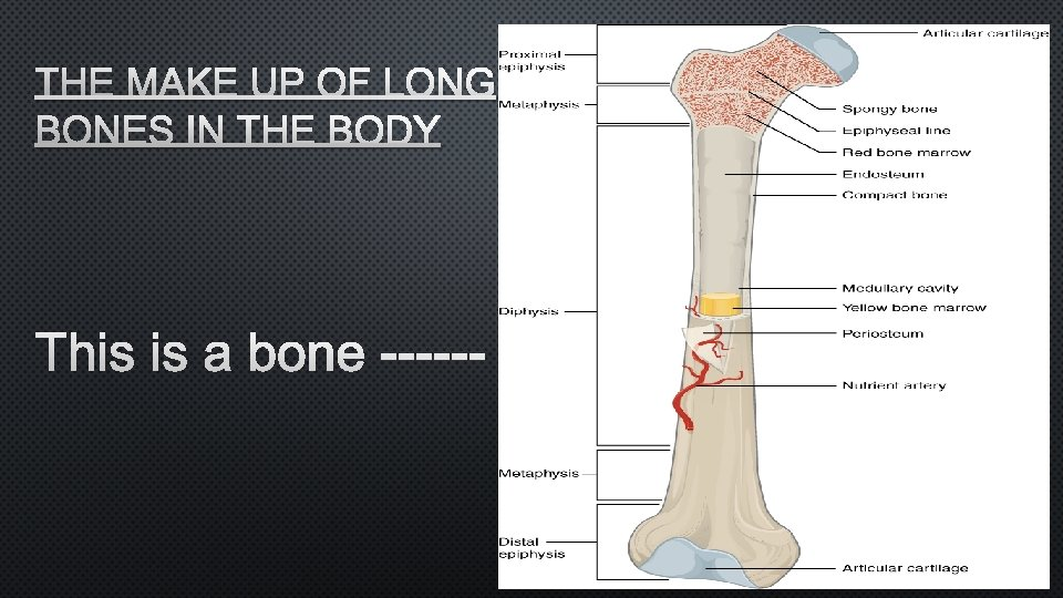 THE MAKE UP OF LONG BONES IN THE BODY THIS IS A BONE ------