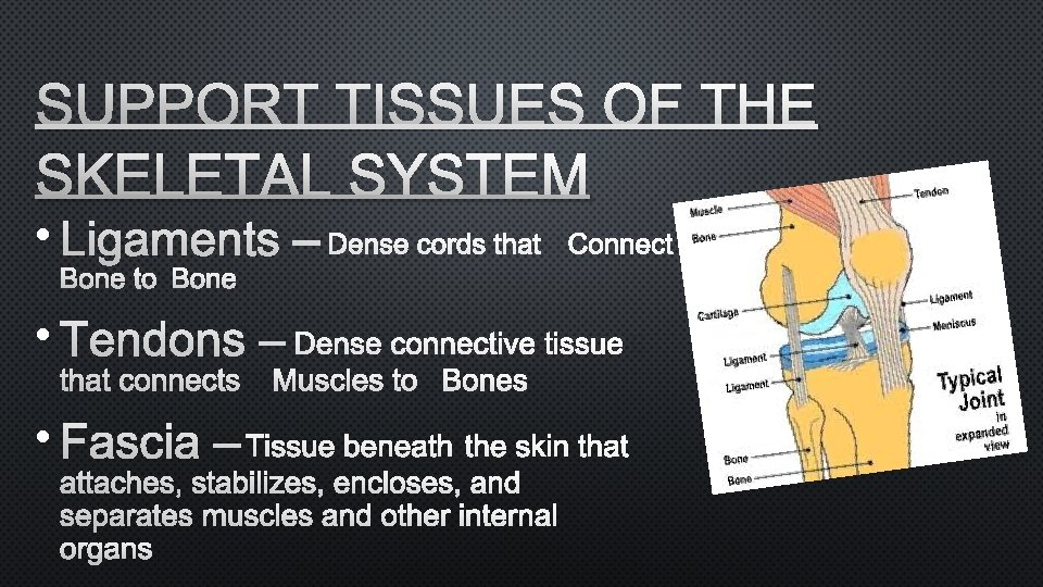 SUPPORT TISSUES OF THE SKELETAL SYSTEM • LIGAMENTS – DENSE CORDS THAT CONNECT BONE
