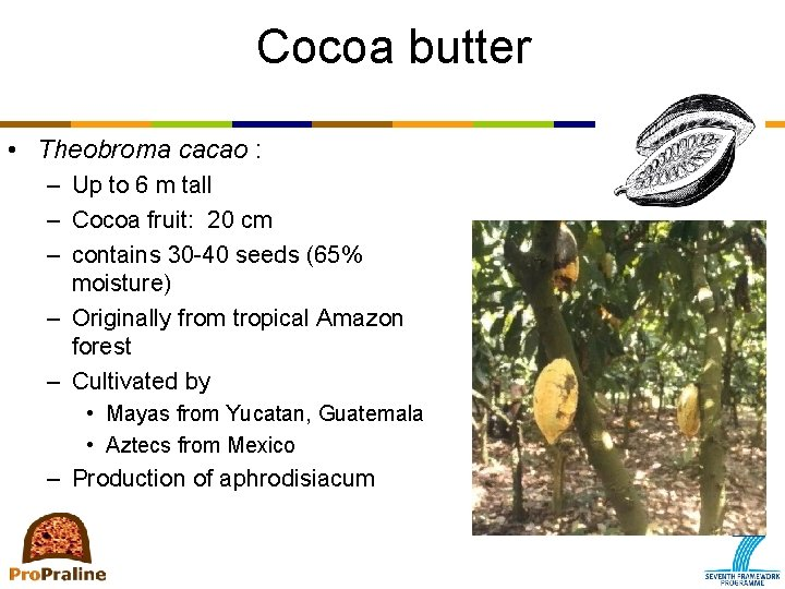 Cocoa butter • Theobroma cacao : – Up to 6 m tall – Cocoa