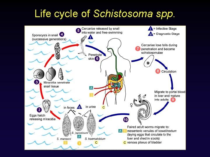 Life cycle of Schistosoma spp.