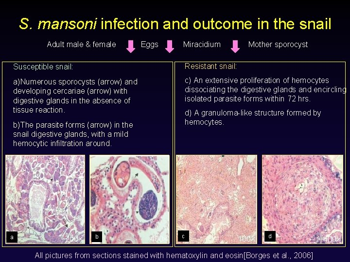 S. mansoni infection and outcome in the snail Adult male & female Eggs Miracidium