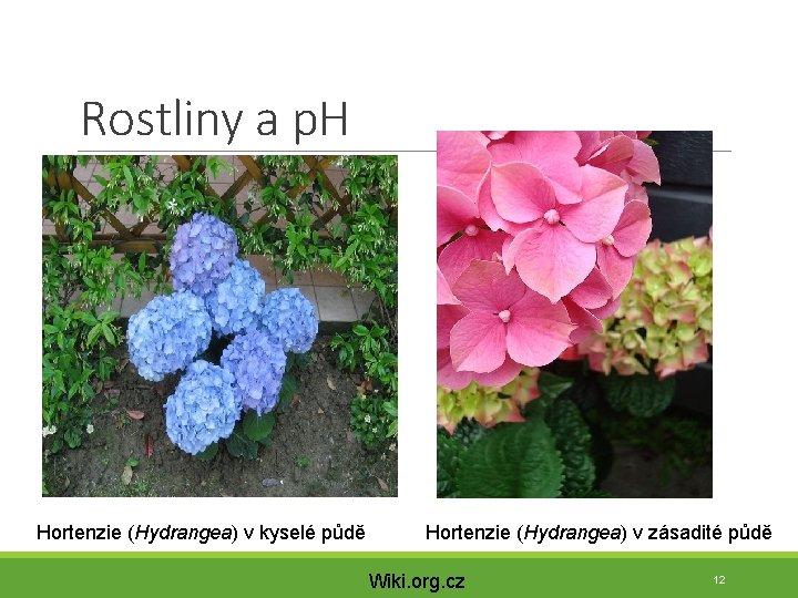 Rostliny a p. H Hortenzie (Hydrangea) v kyselé půdě Hortenzie (Hydrangea) v zásadité půdě