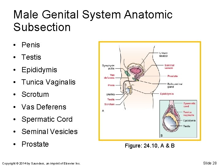 Male Genital System Anatomic Subsection • Penis • Testis • Epididymis • Tunica Vaginalis