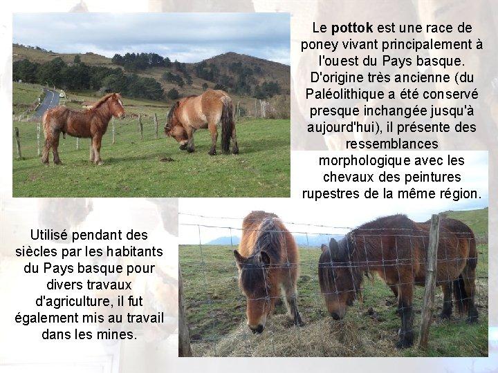 Le pottok est une race de poney vivant principalement à l'ouest du Pays basque.