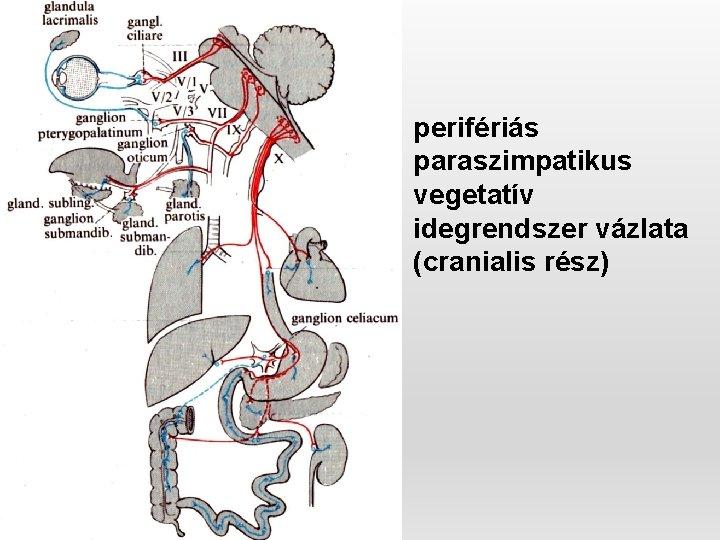 A szerepe az idegrendszer a krónikus prostatitis