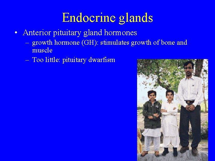 Endocrine glands • Anterior pituitary gland hormones – growth hormone (GH): stimulates growth of